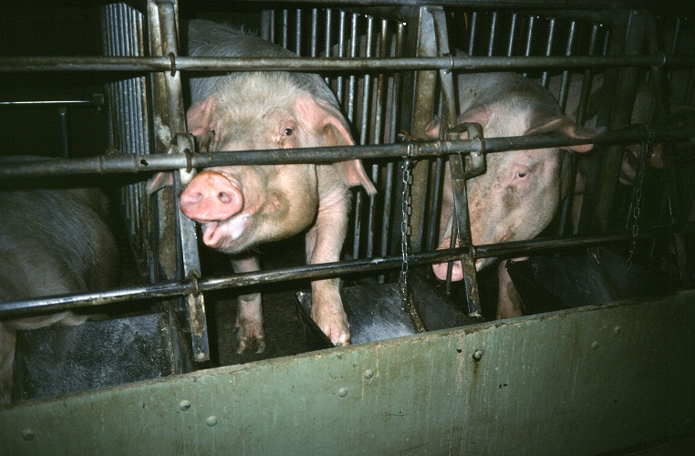 an analysis of animals to be factory farmed treating them inhumanely in the world Animal farm - chapter summaries chapter 1 the pigs have taken charge of the farm which is now called animal farm rather than awaits them in the next world.