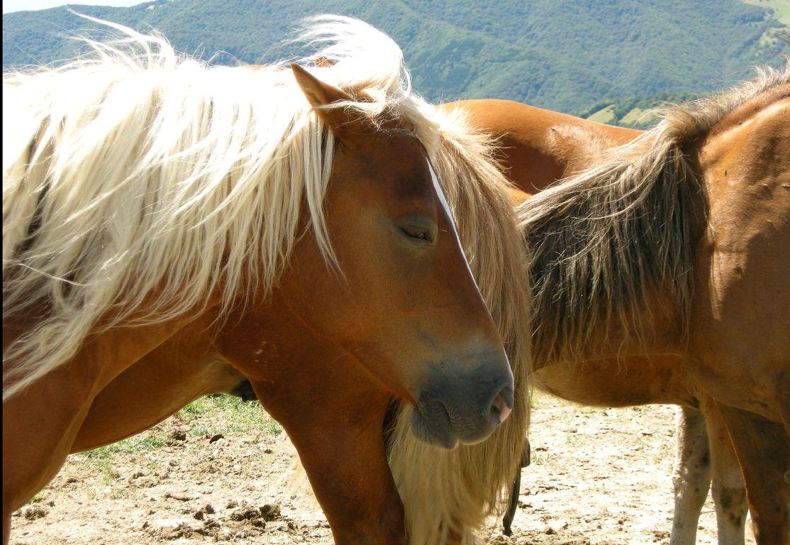 L 39 oipa como in aiuto dei cavalli del bisbino for Immagini cavalli stilizzati