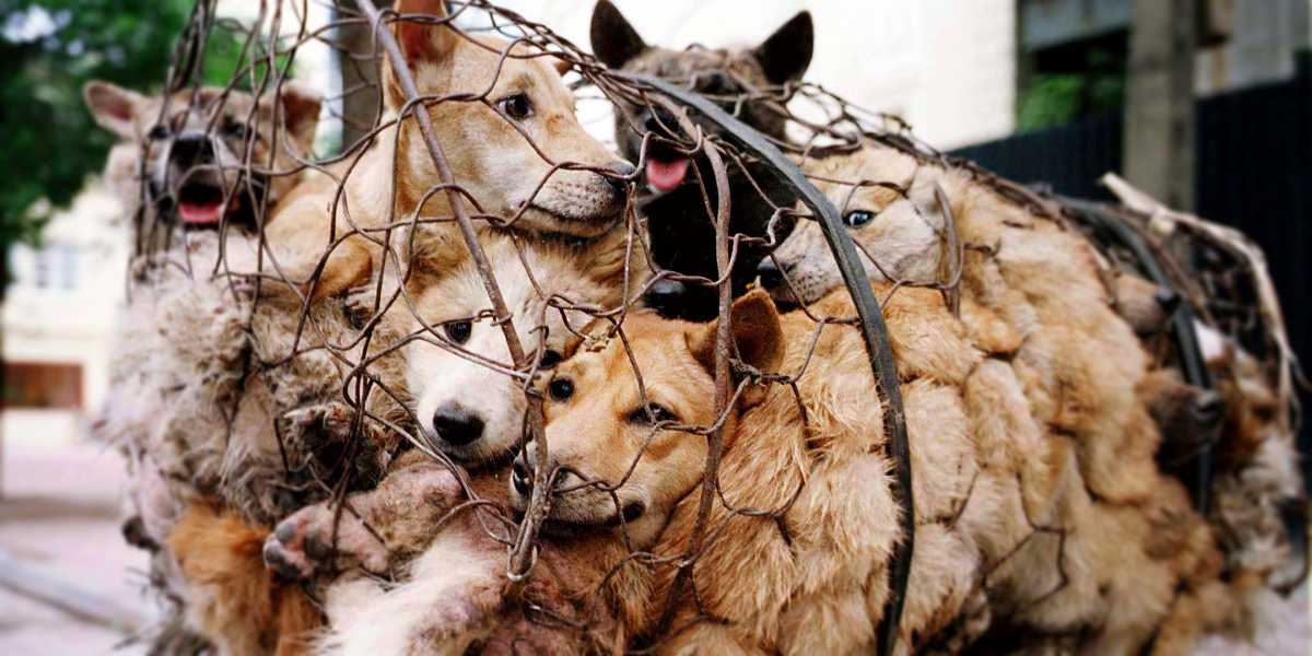 THE YULIN FESTIVAL – SIGN THE LETTER TO END THE DOG MEAT TRADE!