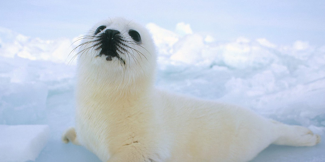 UPDATES: CANADIAN SEAL HUNT 2010
