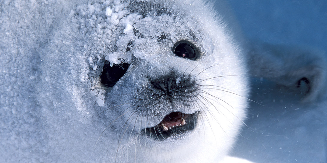 CANADA'S SEAL HUNT WRAPS UP