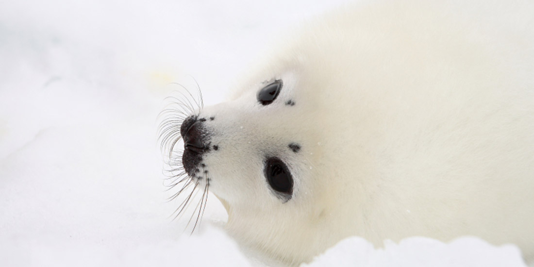 CANADA: THE ANNUAL MASSACRE OF SEALS HAS JUST BEGUN