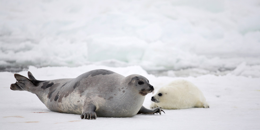 GOOD NEWS FROM NORWAY:  STOP TO SUBSIDIES TO COMMERCIAL SEAL INDUSTRY