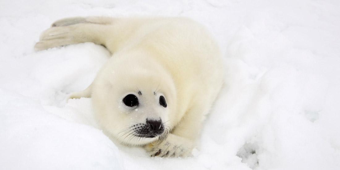 MEPS VOTE TO HALT SEAL SLAUGHTER