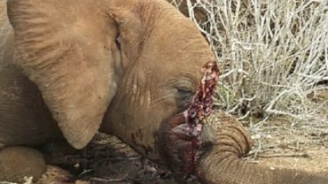 oipa-ivory-poaching