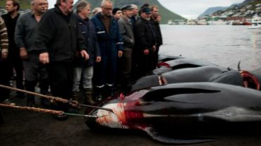 faroe-islands-whale-kill-20-1600x1200