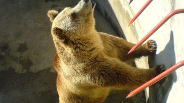 800px-bitola_zoo_bear