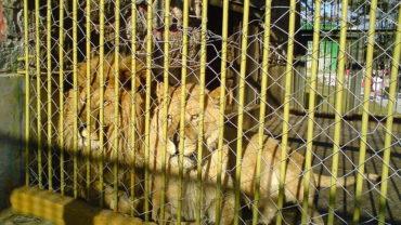 800px-bitola_zoo_lions