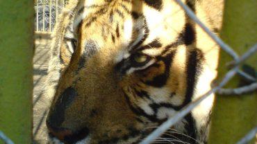 800px-bitola_zoo_tiger_2