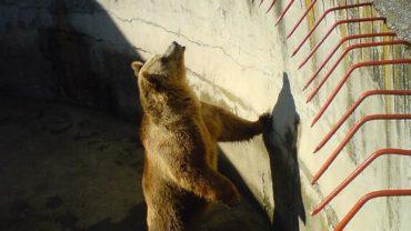 800px-file-bitola_zoo_bear_2