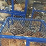 CITY OF LEZHE, ALBANIA – THE MAYOR DECIDED TO CAPTURE STRAY DOGS AND AUTHORIZED TO KILL THE SICK AND DANGEROUS ONES