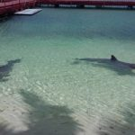 CAYO LARGO, CUBA – TWO DOLPHINS KEPT IN FEW METERS OF WATER IN THE BEACH, FORCED TO PLAY AND SWIM WITH TOURISTS – BOYCOTT THIS PLACE!