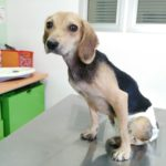 THE NEW LIFE OF SNOOPY: THANKS TO YOURS DONATIONS SNOOPY HAS BEEN CURED. NOW HE IS BETTER AND HE HAVE FOUND A SPECIAL ADOPTION