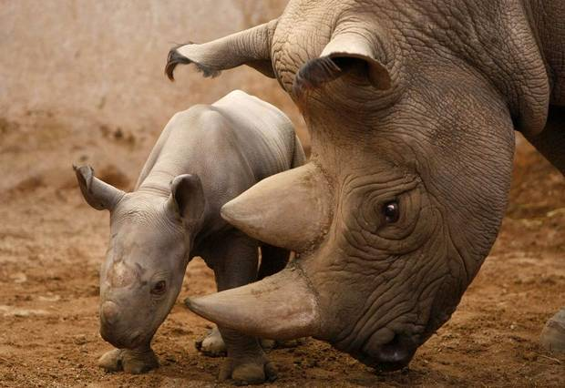 WORLD RHINO DAY – 1300 ANIMALS KILLED LAST YEAR