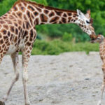 UGANDA, GIRAFFES THREATENED BY DRILLS