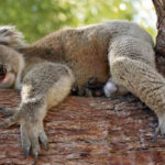 EUCALYPTUS AND KOALAS IN DANGER DUE TO CLIMATE CHANGE