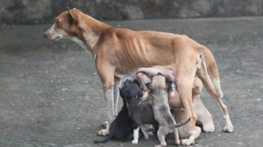 how-long-are-dogs-pregnant-mother-dog-with-several-puppies-1600x1200