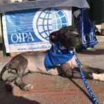 AZZURRA, YOUNG PITBULL EXPLOITED FOR PUPPY TRADE