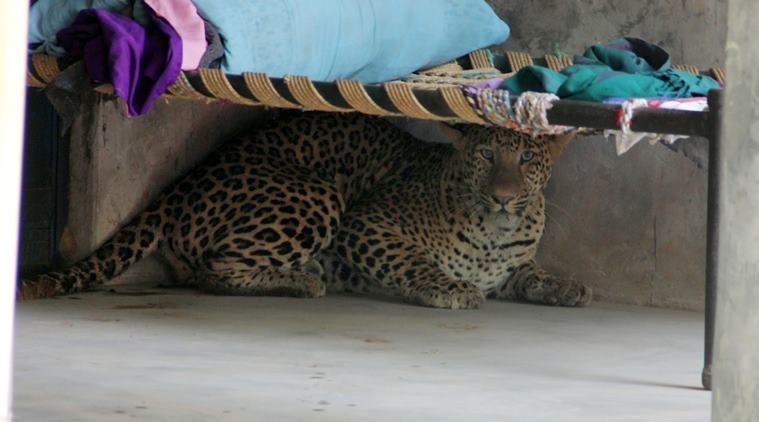 LEOPARD BRUTALLY KILLED BY GURGAON VILLAGERS AFTER IT MAULS NINE PEOPLE