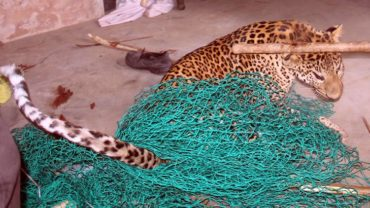 leopard-15