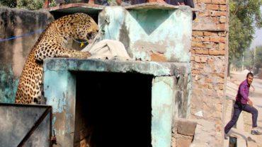 leopard-16