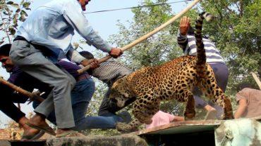 leopard-161