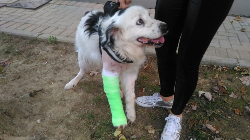 HE'S CRAWLING, BUT HE STILL WAGS ITS TAIL AND SMILES HAPPY: RINGO, RAN OVER BY HIS OWNER AND IGNORED