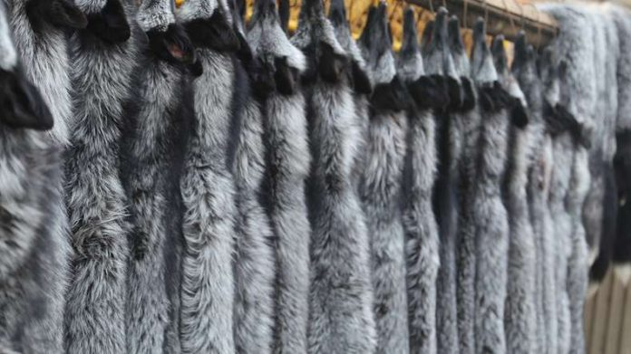 OIPA INDIA GREAT VICTORY! INDIA TAKES A REAL STEP TOWARDS PROTECTION OF WILD ANIMALS, BANS IMPORT OF FOX FUR