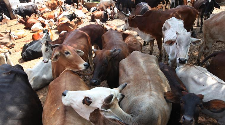 OIPA INDIA INVESTIGATES OVER SMUGGLING OF CATTLE ACTIVITIES