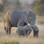 ZIMBABWE SEND 35 LIVE ELEPHANTS TO WILDLIFE PARKS IN CHINA