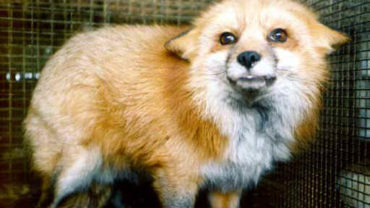 fox-fur-04