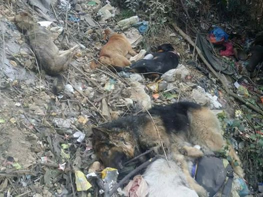 NEPAL: PRIVATE DOGS STOLEN, KILLED AND THROWN IN THE BUSHES – OIPA VOLUNTEERS ARE INVESTIGATING ON THESE TERRIBLE CRIMES AND ASKING TO THE AUTHORITIES TO TAKE LEGAL ACTION