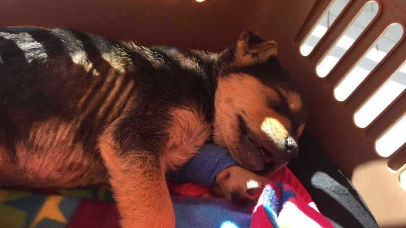 FRANKIE'S STRENGTH: PUPPY HIT BY A CAR AND SAVED BY OIPA BLUE ANGELS IN SOUTH ITALY