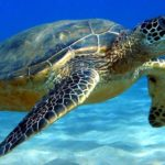 TUNISIA, SEA TURTLES FISHED AND TORTURED STOP THIS ABUSE AND PROTECT THEM!