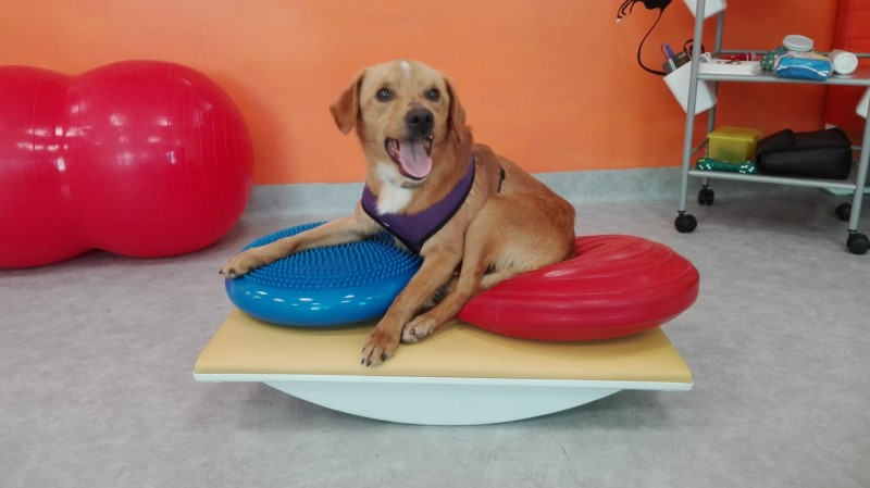 RAN OVER AND ABANDONED PARALYZED: THOMAS, LITTLE DOG RESCUED BY OIPA VOLUNTEERS