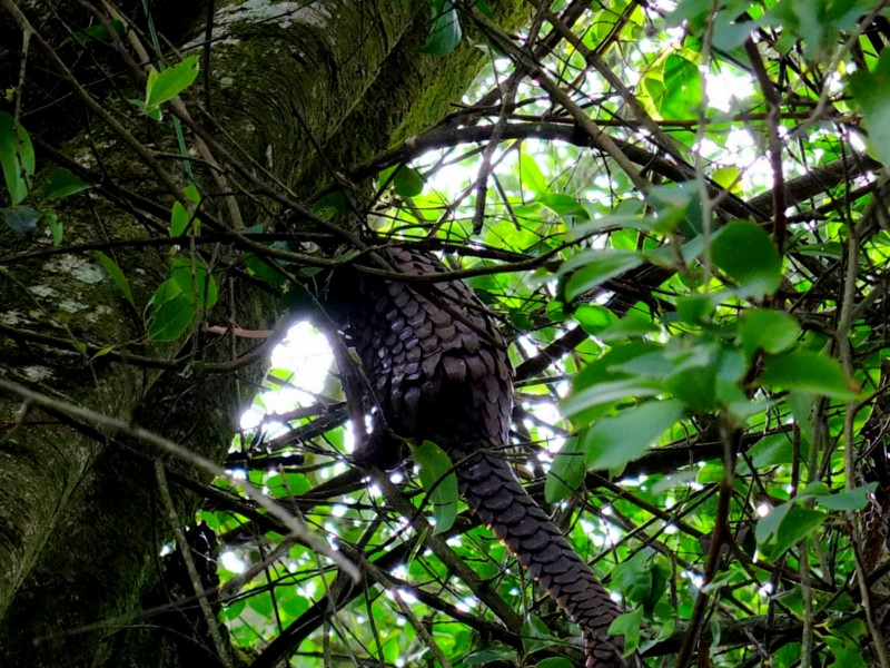 OIPA STARTS A FOREST AND WILDLIFE CONSERVATION PROJECT WITH THE MINISTRY OF FORESTRY AND WILDLIFE OF CAMEROON  – The habitat of the endemic pangolin and shimpanzee, endangered species, will be protected