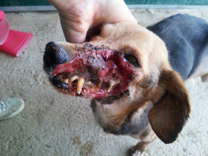 PEPETTE: DISFIGURED ON HER FACE, A STRAY DOG RESCUED BY OIPA VOLUNTEERS. SHE IS STILL SUFFERING AND NEEDS MEDICAL CARE. PLEASE DONATE YOUR HELP