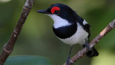 brown-throated-wattle-eye-platysteira-cyanea-c2a9wikic