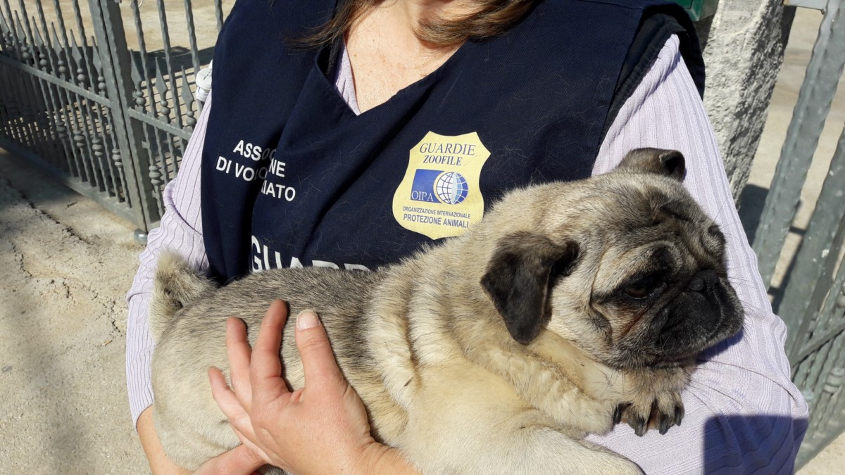PUG DOG STOLEN AND FOUND BY OIPA ANIMAL GUARDS AFTER 3 YEARS. NOW IS BACK HOME