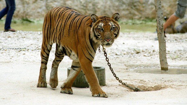 TIGER TEMPLE, THAILAND – SIGN THE PETITION!