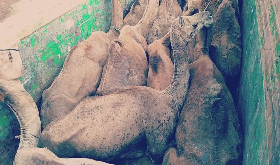 VICTORY FOR OIPA INDIA! Haryana cancels registration of a vehicle used for illegal cattle trafficking