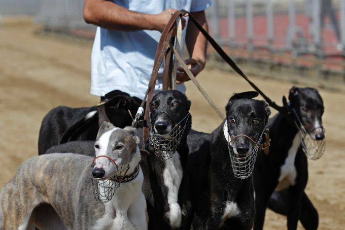 600 GREYHOUNDS TO BE CARED FOR BY MACAU AUTHORITIES AFTER YAT YUEN TRACK CLOSES