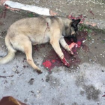 Azerbaijan: a new mass culling of stray dogs
