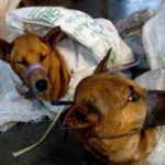 STOP DOG MEAT TRADE IN INDONESIA…. BRUTAL SLAUGHTERING AND INEVITABLE RABIES DIFFUSION