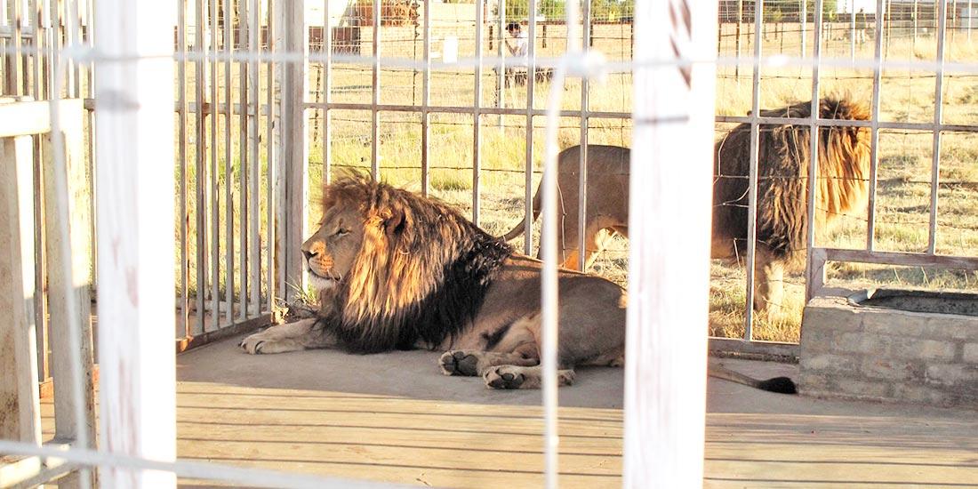LION BONE TRADE TO ASIA
