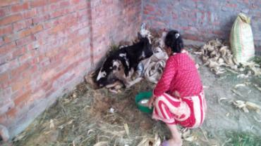 nepal-calves-2