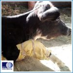 OIPA NEPAL LATEST UPDATES: A DOG INJURED BY A HUMAN STREET ATTACK, ABANDONED COWS AND CALVES, AND DRISTI, A BLIND DOG