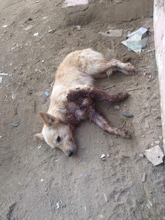CRUEL DOG POPULATION MANAGEMENT METHODS IN EGYPT