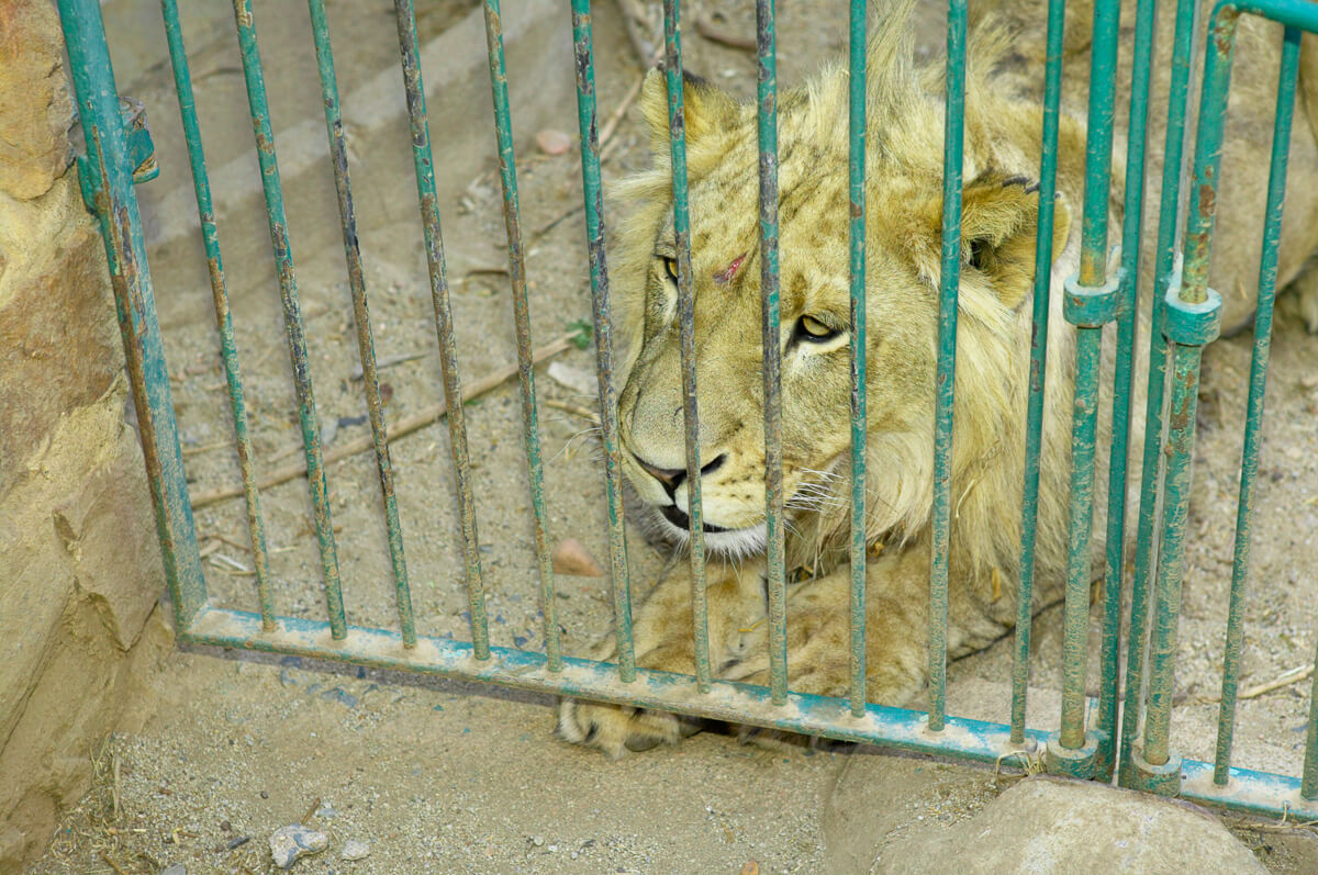BREAKTHROUGH RULING- SOUTH AFRICA'S LION BONE EXPORT QUOTA DEEMED 'UNLAWFUL AND CONSTITUTIONALLY INVALID'
