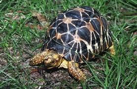 indian-star-tortoise